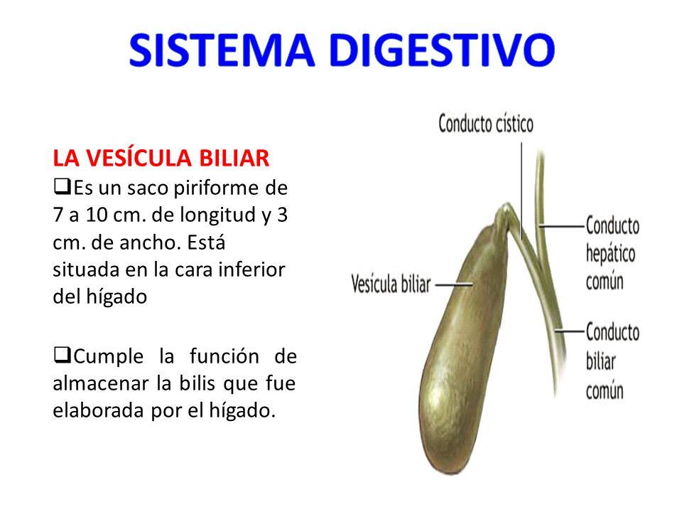 LA VESÍCULA BILIAR Es un saco piriforme de 7 a 10 cm. de longitud y 3 cm. de ancho. Está situada en la cara inferior del hígado Cumple la función de a