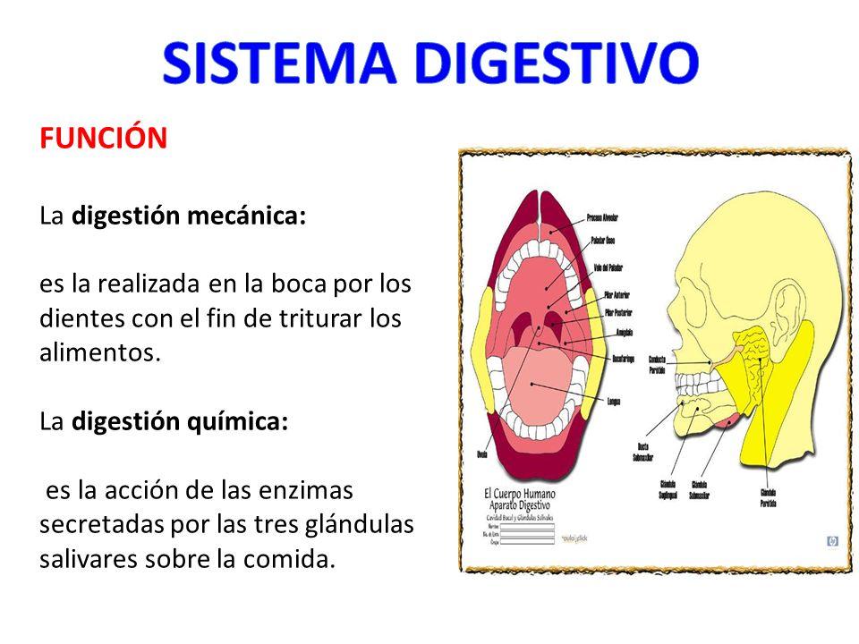 FUNCIÓN La digestión mecánica: es la realizada en la boca por los dientes con el fin de triturar los alimentos. La digestión química: es la acción de