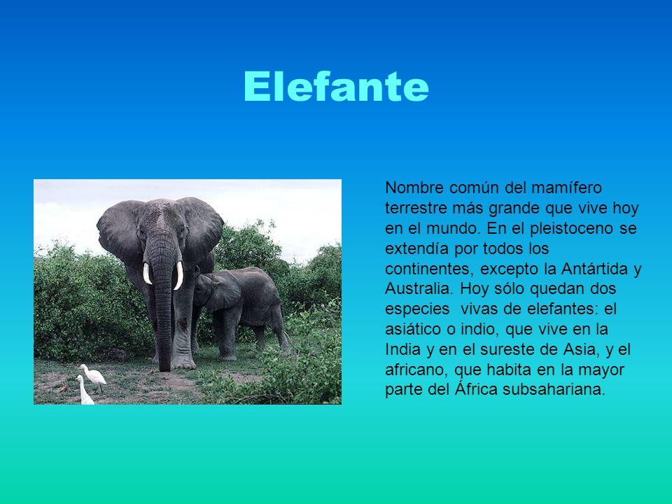 Elefante Nombre común del mamífero terrestre más grande que vive hoy en el mundo.