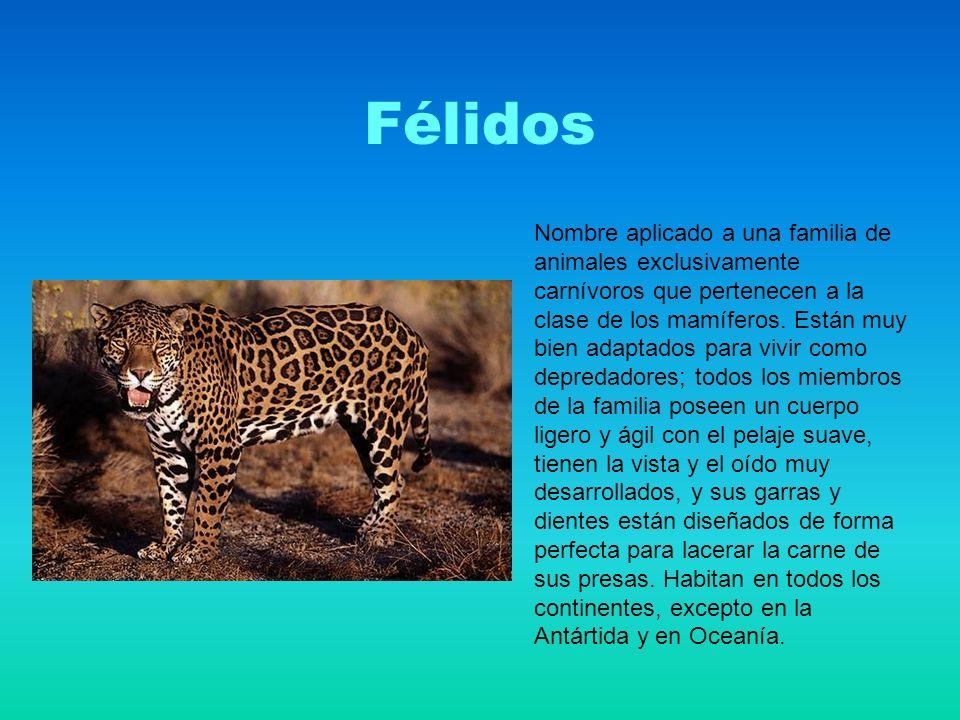 Félidos Nombre aplicado a una familia de animales exclusivamente carnívoros que pertenecen a la clase de los mamíferos.