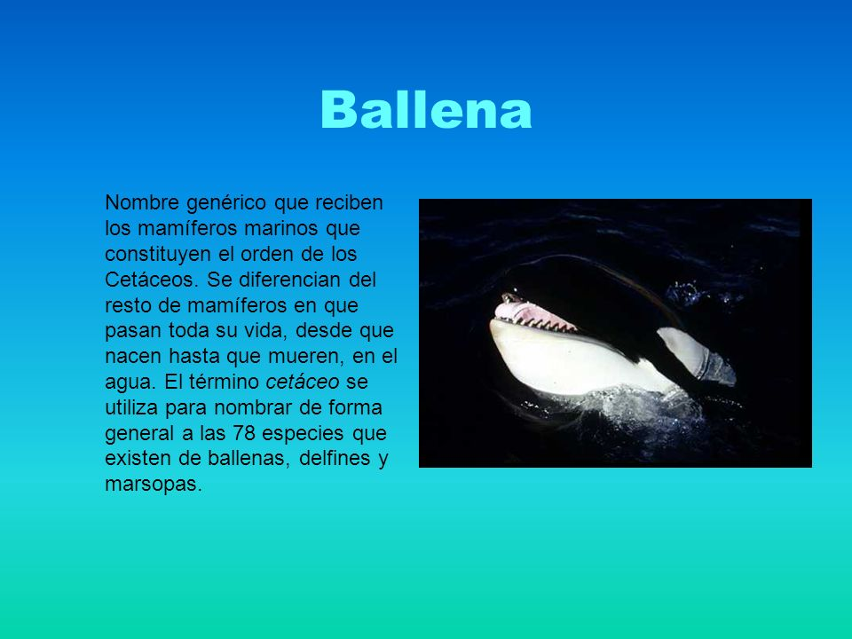 Ballena Nombre genérico que reciben los mamíferos marinos que constituyen el orden de los Cetáceos.