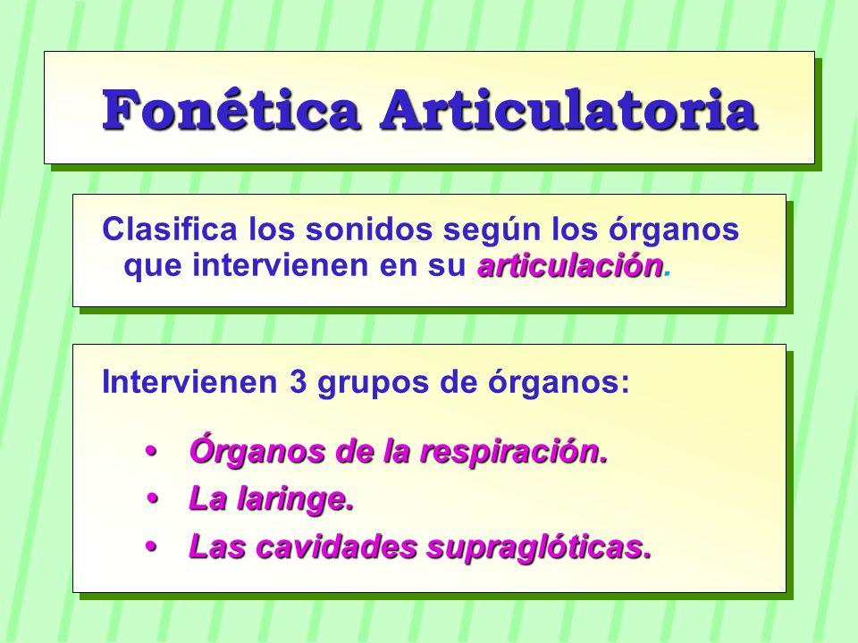 Fonética Articulatoria articulación Clasifica los sonidos según los órganos que intervienen en su articulación. Intervienen 3 grupos de órganos: Órgan
