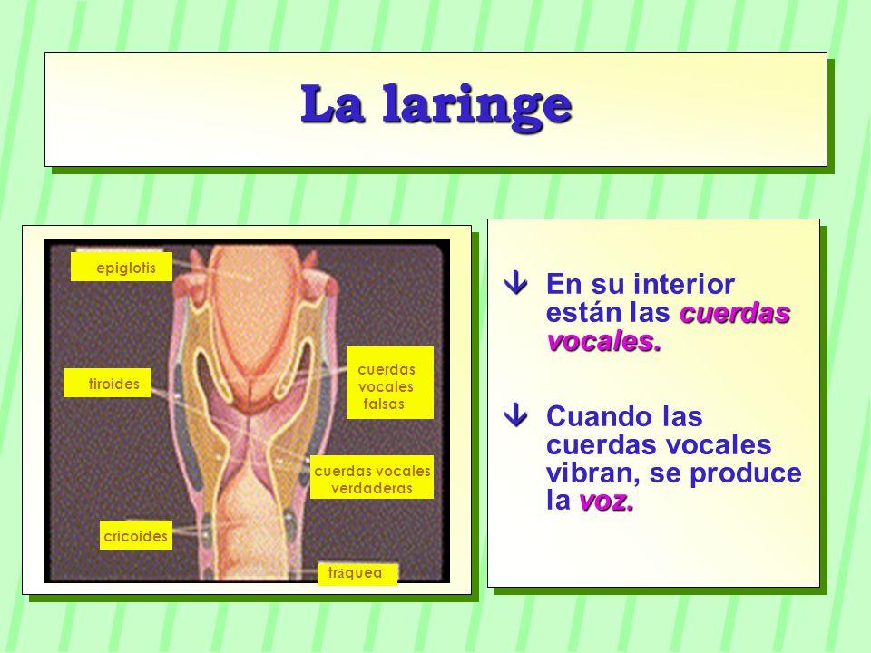 La laringe cuerdas vocales. En su interior están las cuerdas vocales. voz. Cuando las cuerdas vocales vibran, se produce la voz. epiglotis cuerdas voc