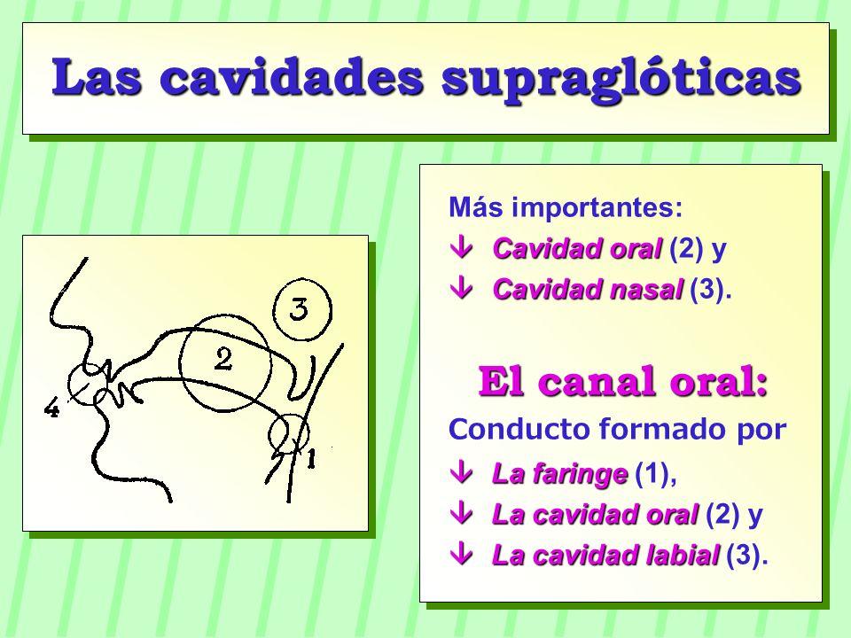 Más importantes: Cavidad oral Cavidad oral (2) y Cavidad nasal Cavidad nasal (3). El canal oral: Conducto formado por La faringe La faringe (1), La ca