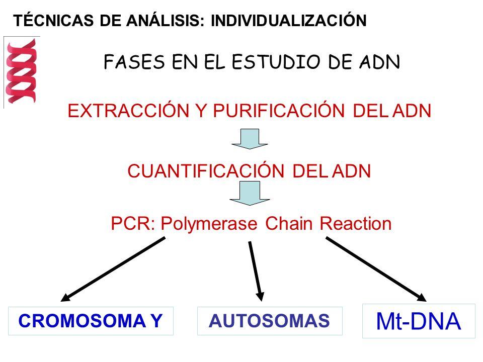 TÉCNICAS DE ANÁLISIS: INDIVIDUALIZACIÓN FASES EN EL ESTUDIO DE ADN PCR: Polymerase Chain Reaction EXTRACCIÓN Y PURIFICACIÓN DEL ADN CUANTIFICACIÓN DEL