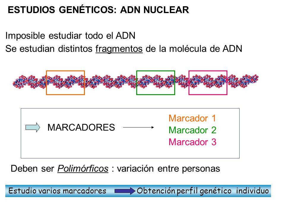 Se estudian distintos fragmentos de la molécula de ADN Imposible estudiar todo el ADN Deben ser Polimórficos : variación entre personas MARCADORES Mar