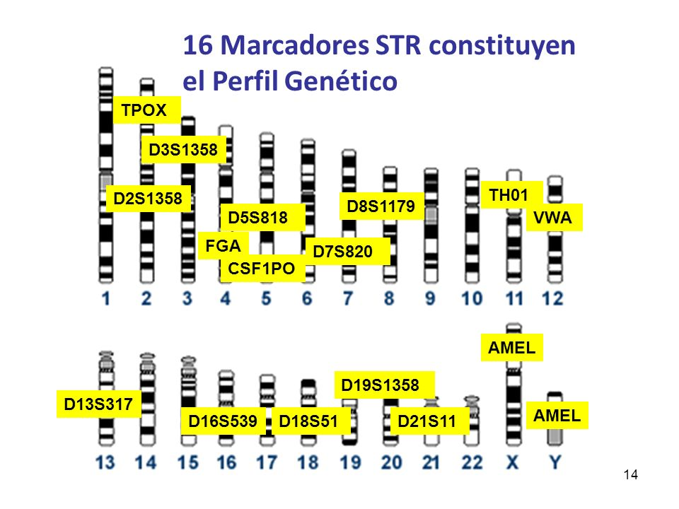 14 16 Marcadores STR constituyen el Perfil Genético CSF1PO D5S818 D21S11 TH01 TPOX D13S317 D7S820 D16S539D18S51 D8S1179 D3S1358 FGA VWA AMEL D2S1358 D