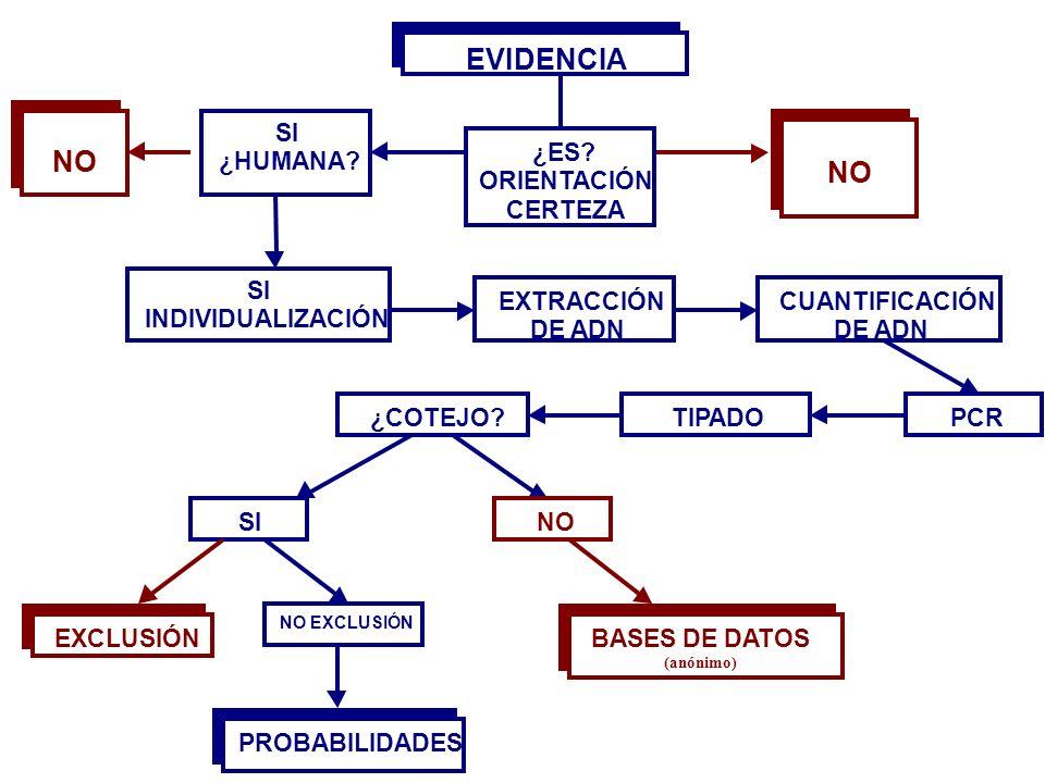 SI ¿HUMANA? NO SI INDIVIDUALIZACIÓN EXTRACCIÓN DE ADN CUANTIFICACIÓN DE ADN PCRTIPADO¿COTEJO? SI EXCLUSIÓN NO EXCLUSIÓN PROBABILIDADES NO BASE DE DATO