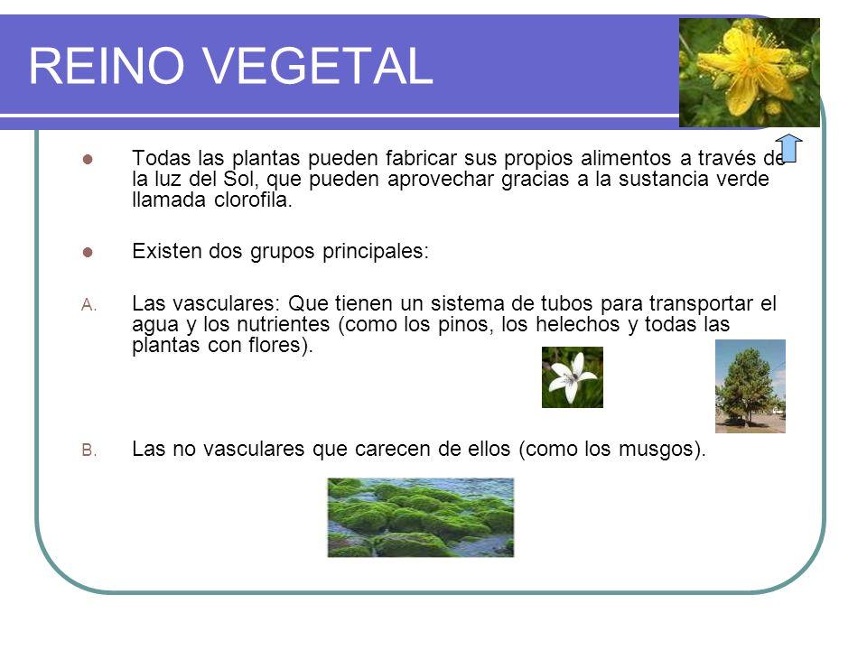 REINO VEGETAL Todas las plantas pueden fabricar sus propios alimentos a través de la luz del Sol, que pueden aprovechar gracias a la sustancia verde l