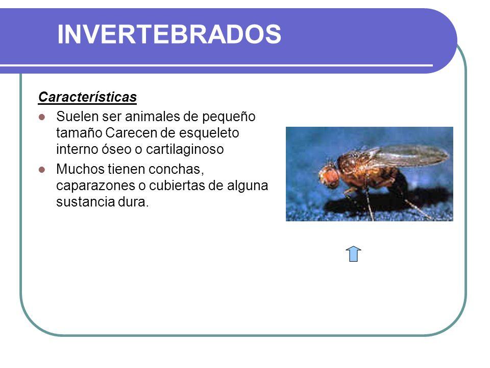 INVERTEBRADOS Características Suelen ser animales de pequeño tamaño Carecen de esqueleto interno óseo o cartilaginoso Muchos tienen conchas, caparazones o cubiertas de alguna sustancia dura.