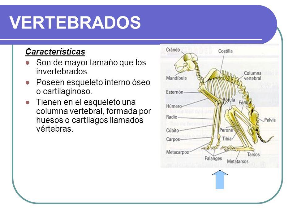 VERTEBRADOS Características Son de mayor tamaño que los invertebrados. Poseen esqueleto interno óseo o cartilaginoso. Tienen en el esqueleto una colum