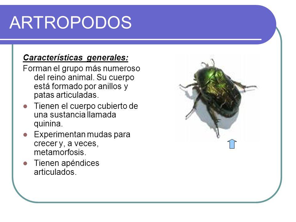 ARTROPODOS Características generales: Forman el grupo más numeroso del reino animal. Su cuerpo está formado por anillos y patas articuladas. Tienen el