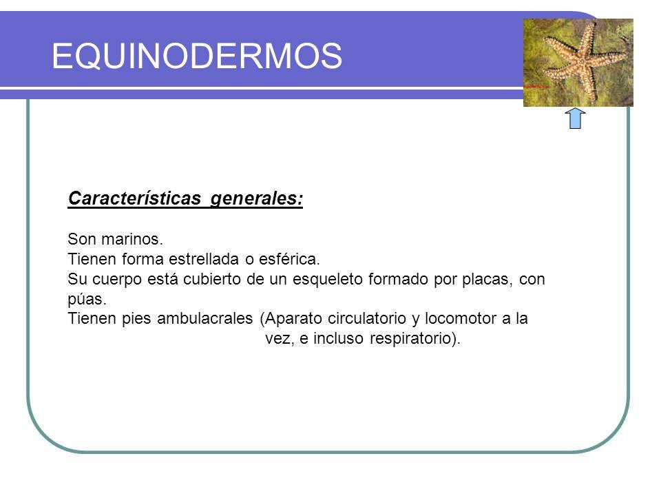 EQUINODERMOS CLASIFICACION DEL REINO ANIMAL Características generales: Son marinos. Tienen forma estrellada o esférica. Su cuerpo está cubierto de un