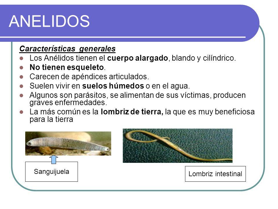 ANELIDOS Características generales Los Anélidos tienen el cuerpo alargado, blando y cilíndrico.