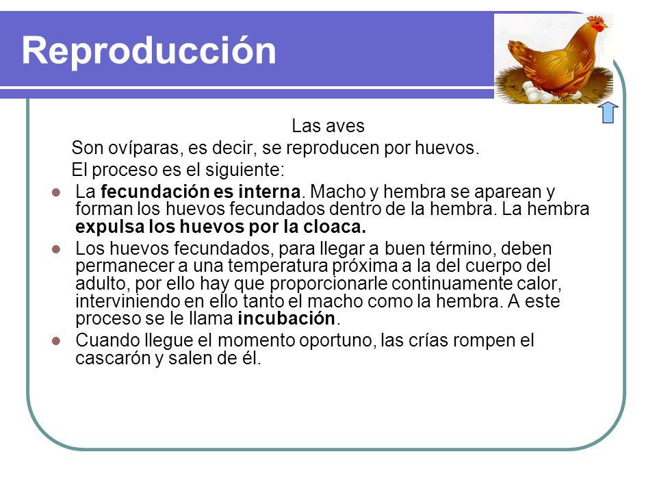 Reproducción Las aves Son ovíparas, es decir, se reproducen por huevos. El proceso es el siguiente: La fecundación es interna. Macho y hembra se apare