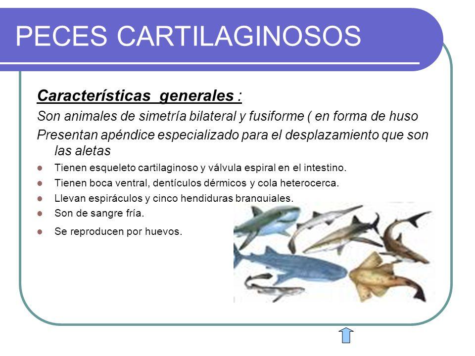 PECES CARTILAGINOSOS Características generales : Son animales de simetría bilateral y fusiforme ( en forma de huso Presentan apéndice especializado pa