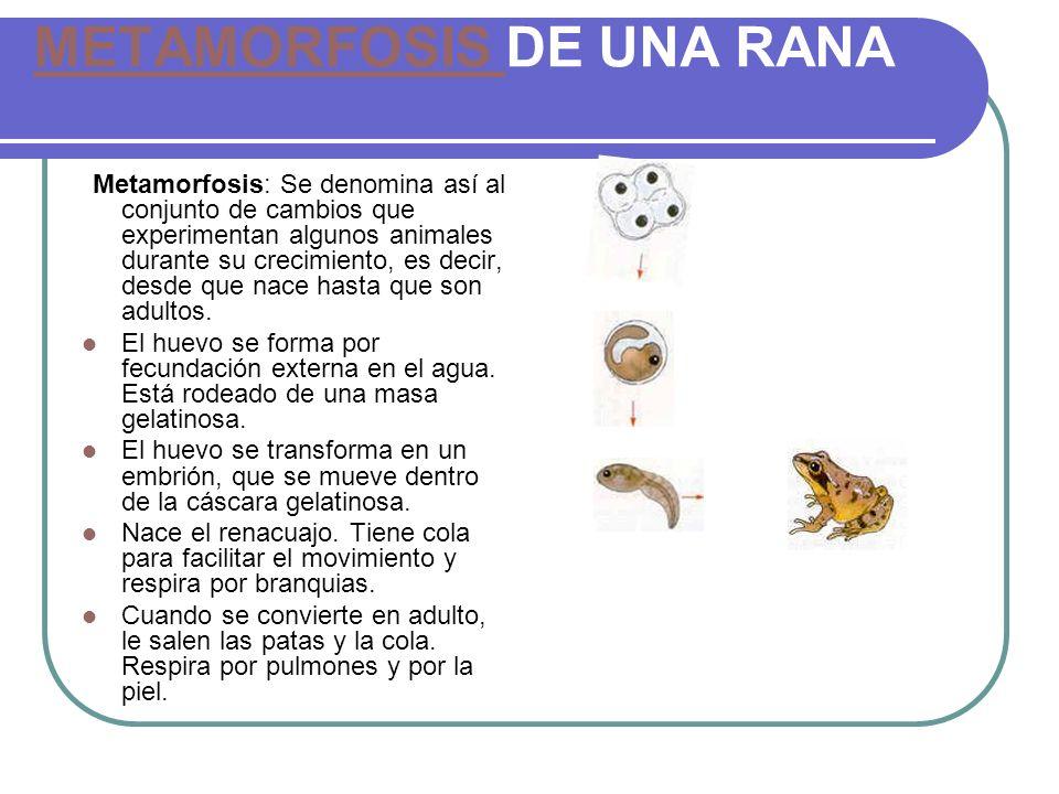 METAMORFOSIS METAMORFOSIS DE UNA RANA Metamorfosis: Se denomina así al conjunto de cambios que experimentan algunos animales durante su crecimiento, e