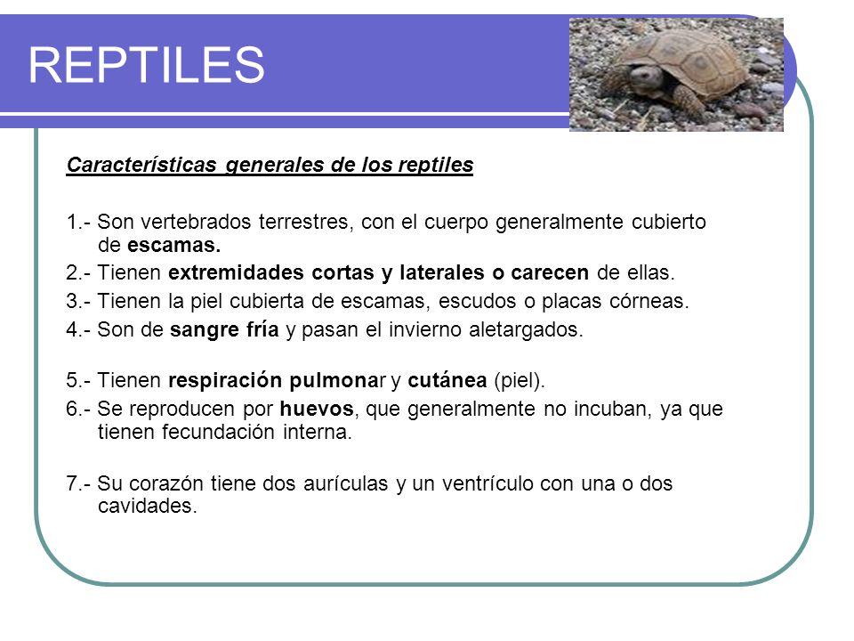 REPTILES Características generales de los reptiles 1.- Son vertebrados terrestres, con el cuerpo generalmente cubierto de escamas. 2.- Tienen extremid