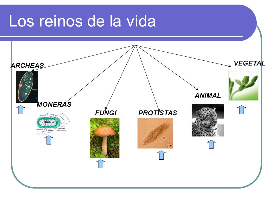 Los reinos de la vida MONERAS FUNGIPROTISTAS ANIMAL ARCHEAS VEGETAL