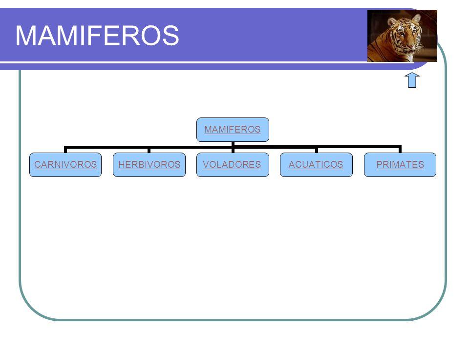 MAMIFEROS CARNIVOROSHERBIVOROSVOLADORESACUATICOSPRIMATES