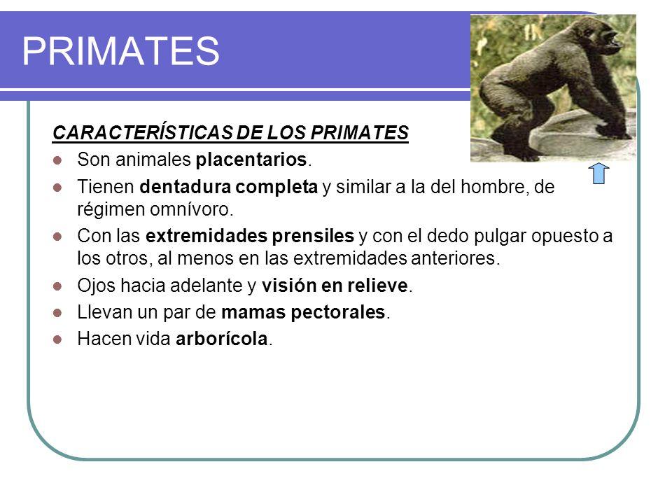 PRIMATES CARACTERÍSTICAS DE LOS PRIMATES Son animales placentarios. Tienen dentadura completa y similar a la del hombre, de régimen omnívoro. Con las