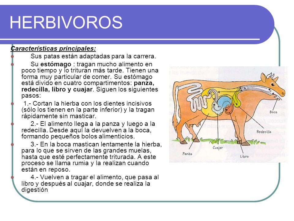 HERBIVOROS Características principales: Sus patas están adaptadas para la carrera. Su estómago : tragan mucho alimento en poco tiempo y lo trituran má