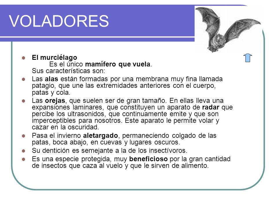 VOLADORES El murciélago Es el único mamífero que vuela. Sus características son: Las alas están formadas por una membrana muy fina llamada patagio, qu