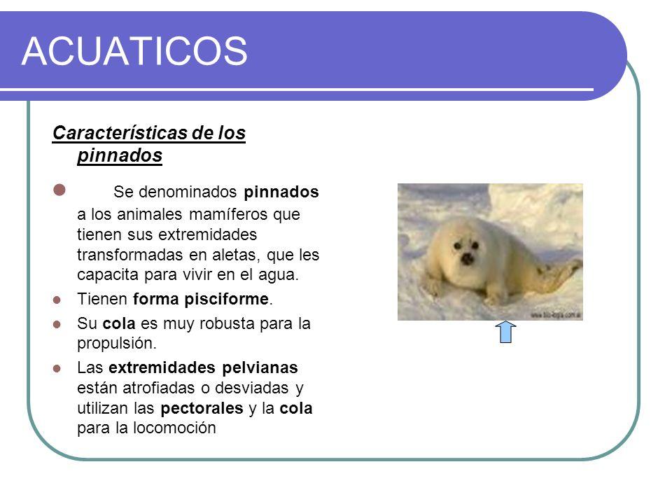 ACUATICOS Características de los pinnados Se denominados pinnados a los animales mamíferos que tienen sus extremidades transformadas en aletas, que le