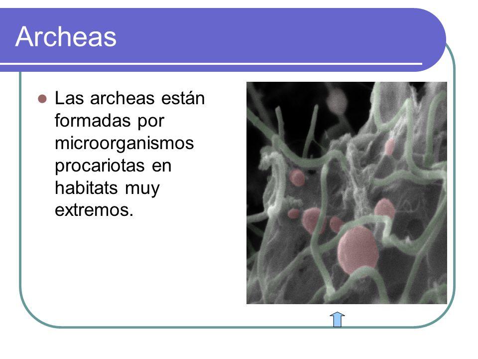 Archeas Las archeas están formadas por microorganismos procariotas en habitats muy extremos.