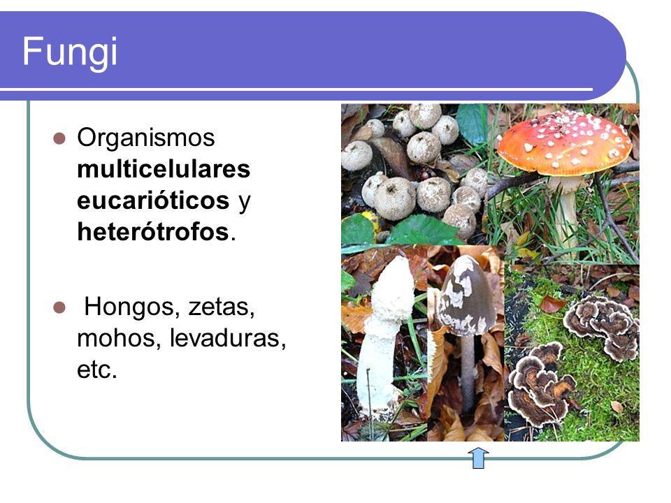 Fungi Organismos multicelulares eucarióticos y heterótrofos. Hongos, zetas, mohos, levaduras, etc.