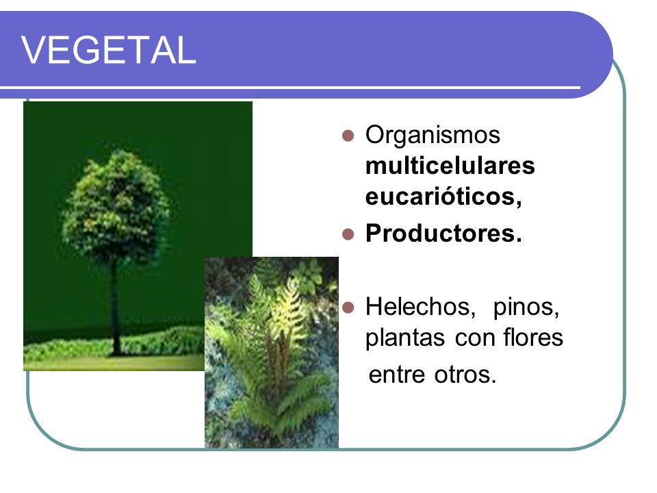 VEGETAL Organismos multicelulares eucarióticos, Productores. Helechos, pinos, plantas con flores entre otros.