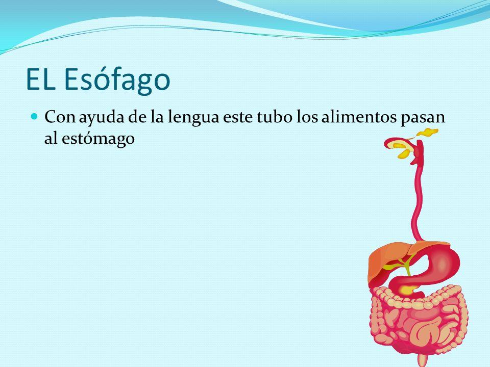 EL Esófago Con ayuda de la lengua este tubo los alimentos pasan al estómago