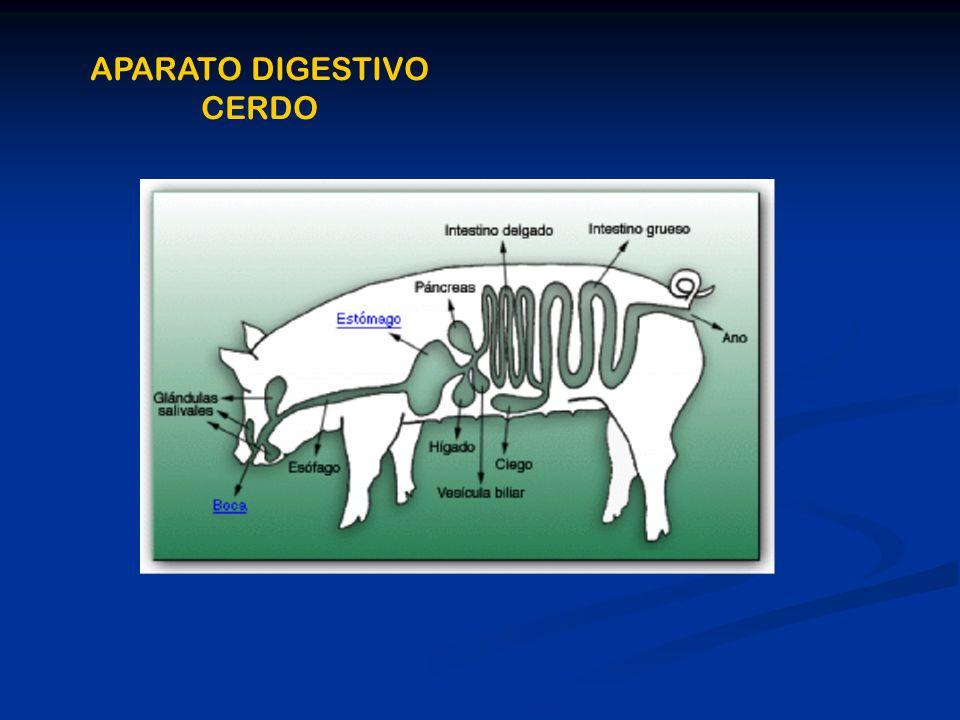 APARATO DIGESTIVO CERDO