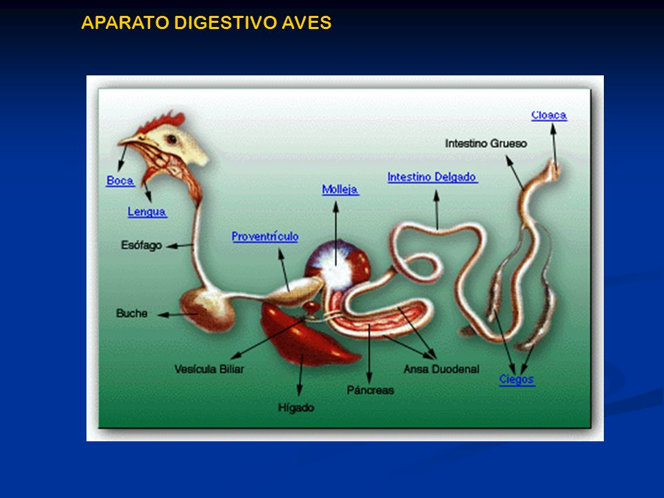 APARATO DIGESTIVO AVES