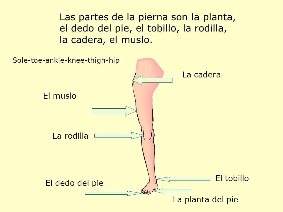 Las partes de la pierna son la planta, el dedo del pie, el tobillo, la rodilla, la cadera, el muslo. Sole-toe-ankle-knee-thigh-hip La planta del pie E