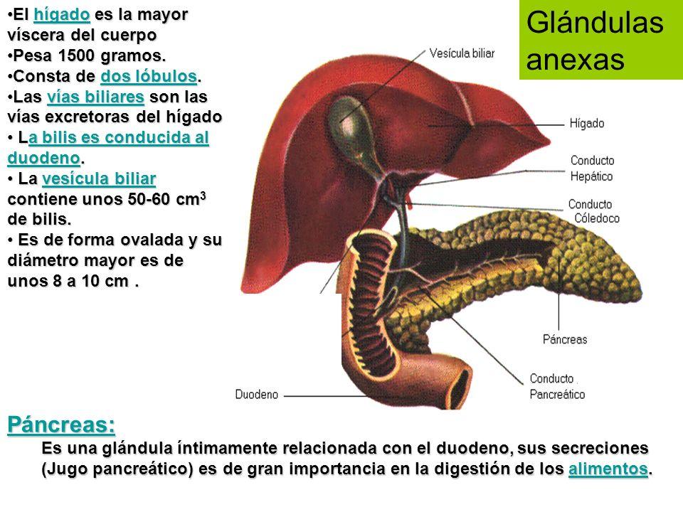 Glándulas anexas Además de las glándulas salivales, hay otras dos glándulas que contribuyen a la digestión: El páncreas El hígado El páncreas es una g