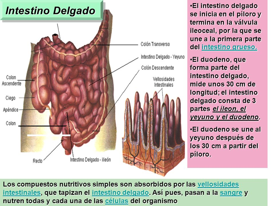 En su primera porción o duodeno recibe secreciones de las glándulas intestinales, la bilis y los jugos del páncreas. Todas estas secreciones contienen