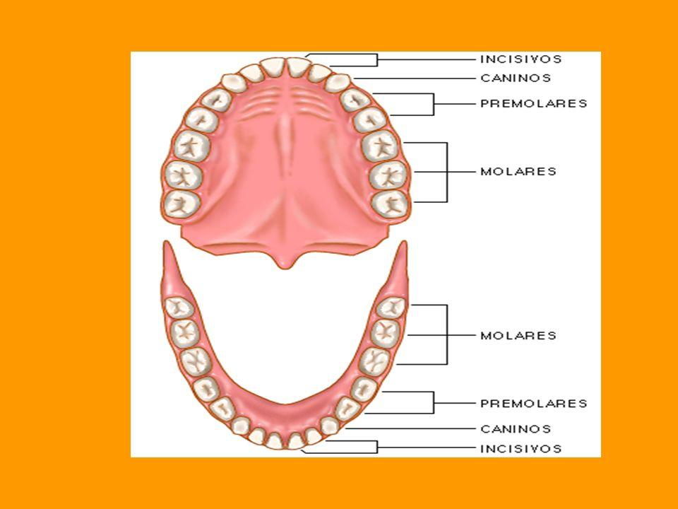 ¿POR QUÉ MASTICAS LOS ALIMENTOS? Masticamos los alimentos para digerirlos. En la masticación intervienen los labios, dientes, lengua, glándulas saliva