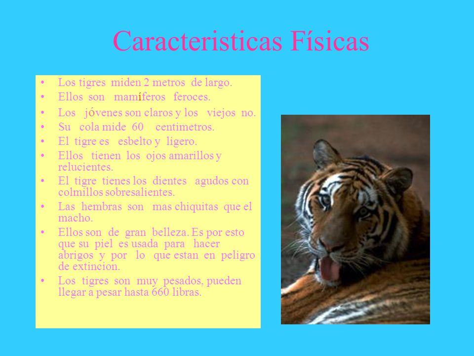 Caracteristicas Físicas Los tigres miden 2 metros de largo. Ellos son mamíferos feroces. Los j ó venes son claros y los viejos no. Su cola mide 60 cen