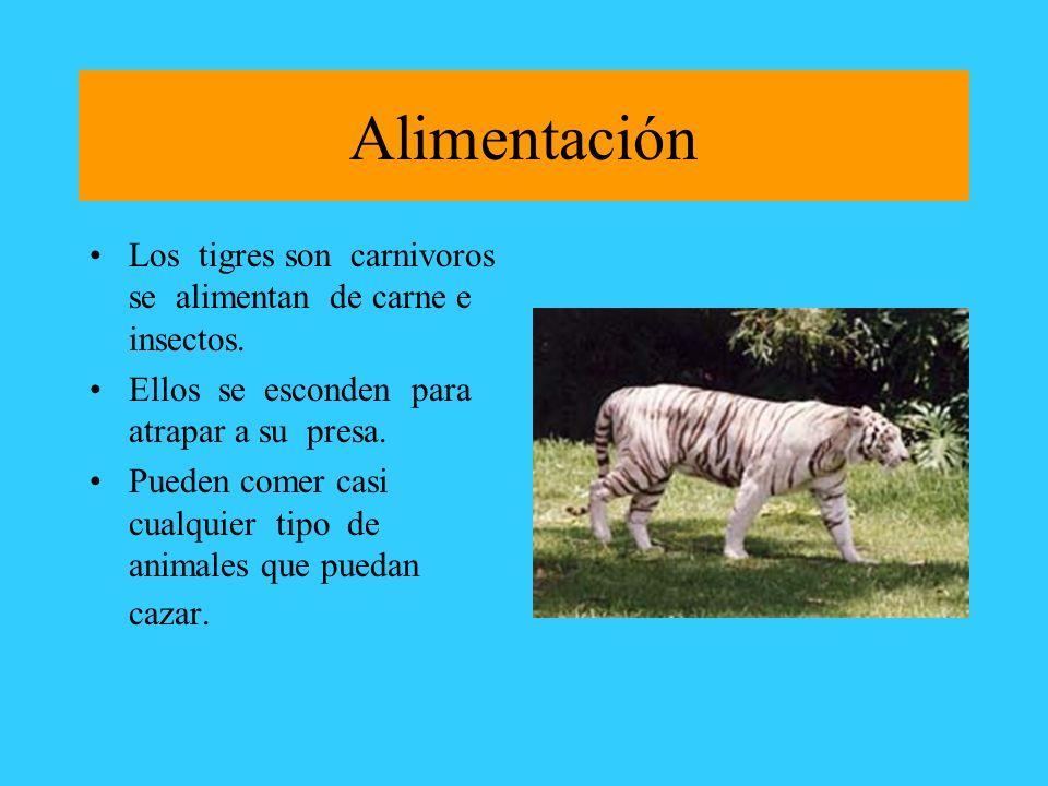 Alimentación Los tigres son carnivoros se alimentan de carne e insectos. Ellos se esconden para atrapar a su presa. Pueden comer casi cualquier tipo d