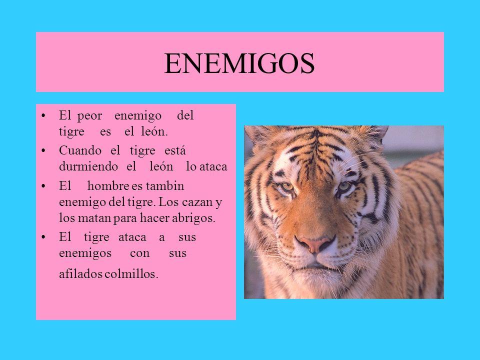 ENEMIGOS El peor enemigo del tigre es el león. Cuando el tigre está durmiendo el león lo ataca El hombre es tambin enemigo del tigre. Los cazan y los