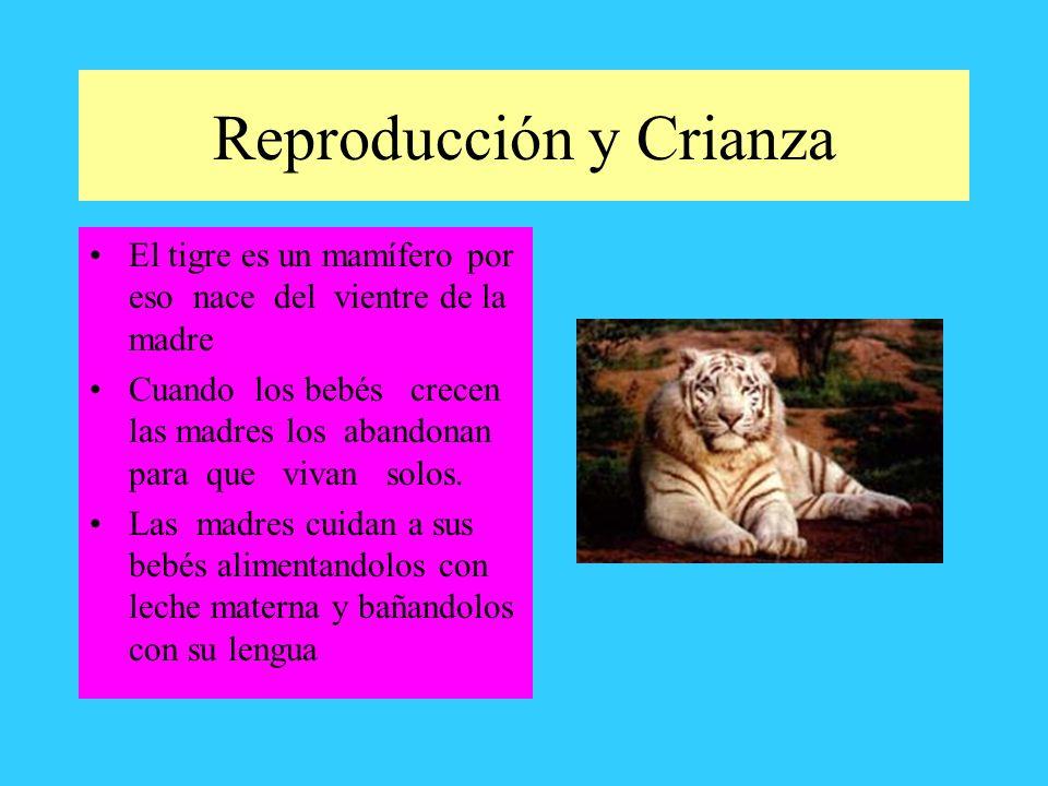 Reproducción y Crianza El tigre es un mamífero por eso nace del vientre de la madre Cuando los bebés crecen las madres los abandonan para que vivan so
