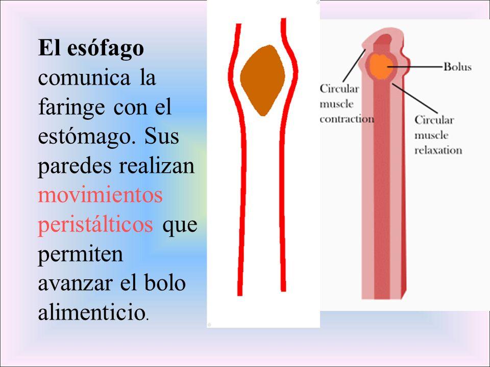 El esófago comunica la faringe con el estómago. Sus paredes realizan movimientos peristálticos que permiten avanzar el bolo alimenticio.