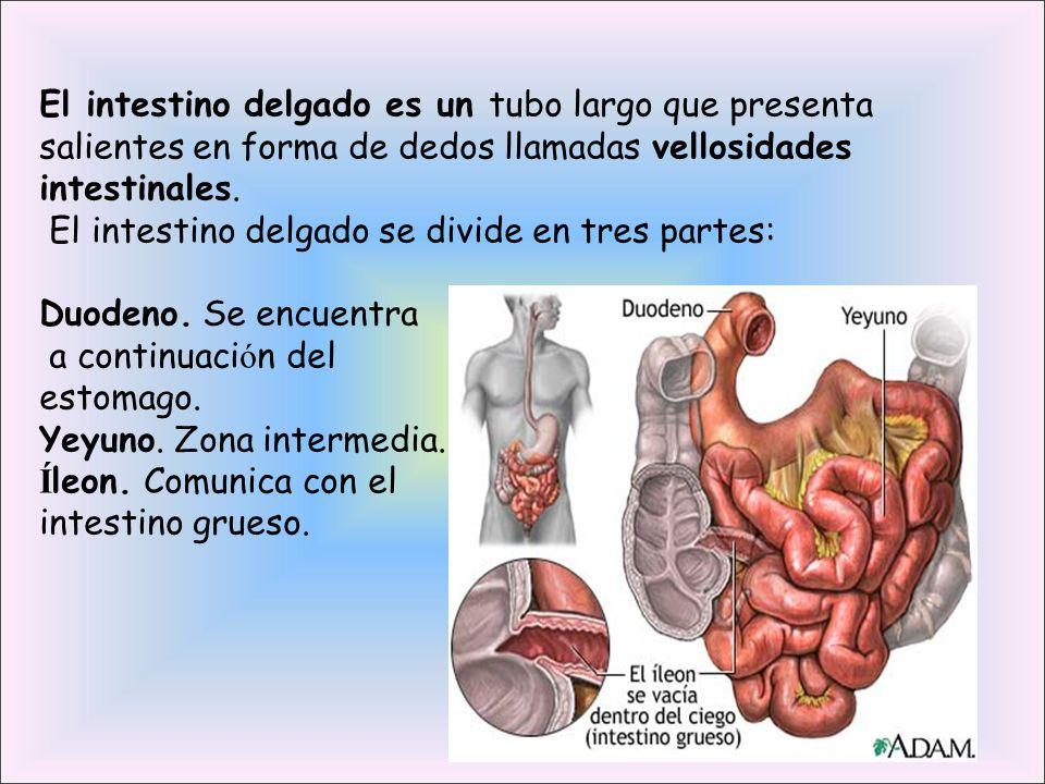 El intestino delgado es un tubo largo que presenta salientes en forma de dedos llamadas vellosidades intestinales. El intestino delgado se divide en t
