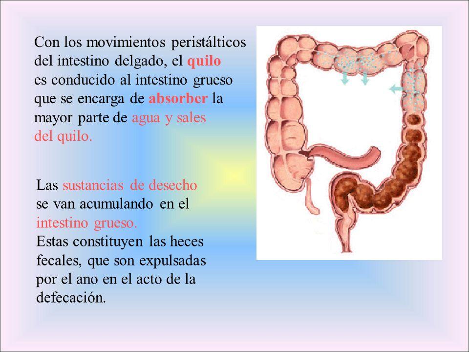 Con los movimientos peristálticos del intestino delgado, el quilo es conducido al intestino grueso que se encarga de absorber la mayor parte de agua y