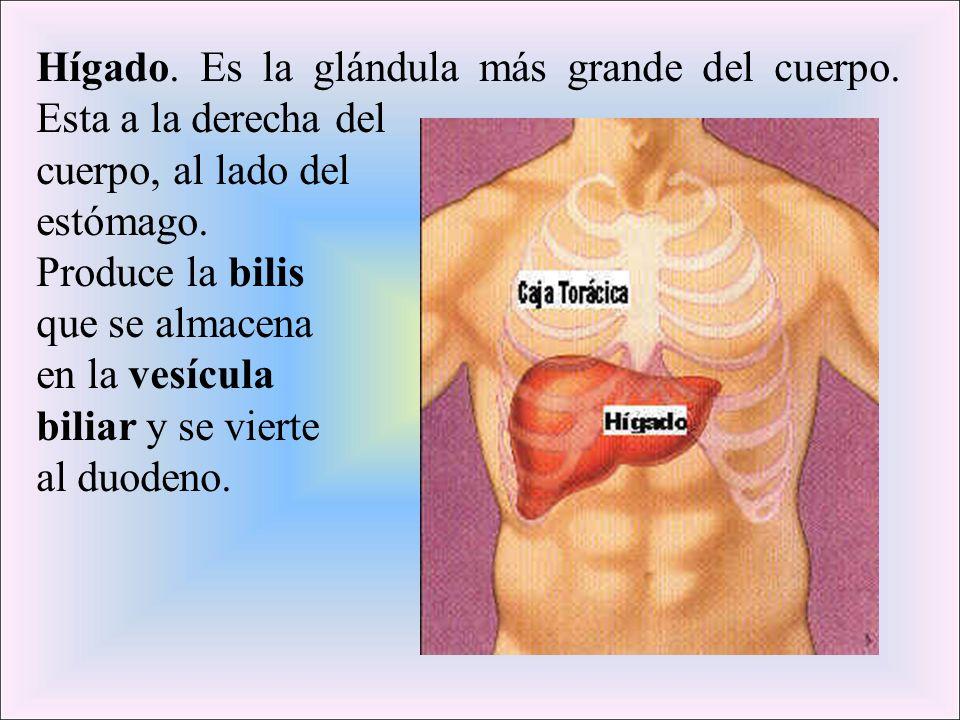 Hígado. Es la glándula más grande del cuerpo. Esta a la derecha del cuerpo, al lado del estómago. Produce la bilis que se almacena en la vesícula bili