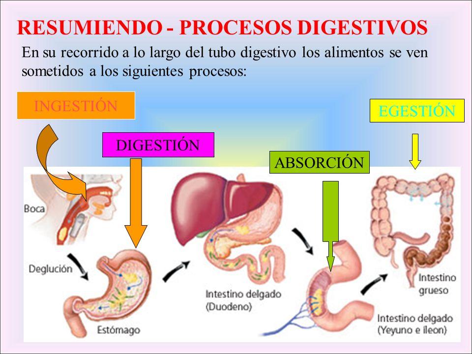 RESUMIENDO - PROCESOS DIGESTIVOS INGESTIÓN DIGESTIÓN ABSORCIÓN EGESTIÓN En su recorrido a lo largo del tubo digestivo los alimentos se ven sometidos a