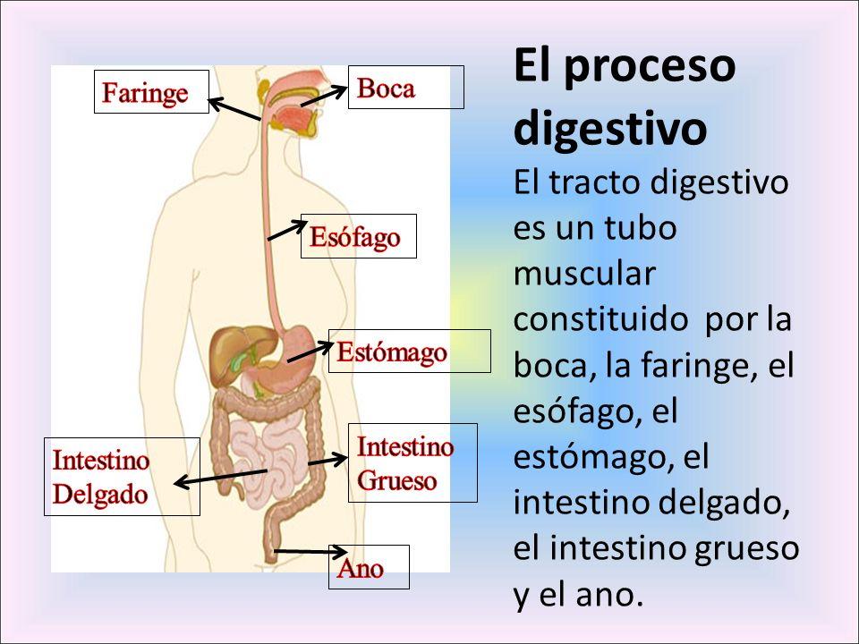 El proceso digestivo El tracto digestivo es un tubo muscular constituido por la boca, la faringe, el esófago, el estómago, el intestino delgado, el in