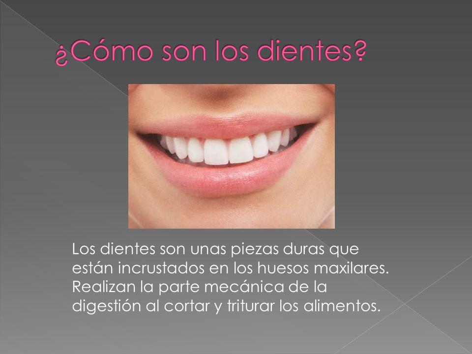 Los dientes son unas piezas duras que están incrustados en los huesos maxilares. Realizan la parte mecánica de la digestión al cortar y triturar los a