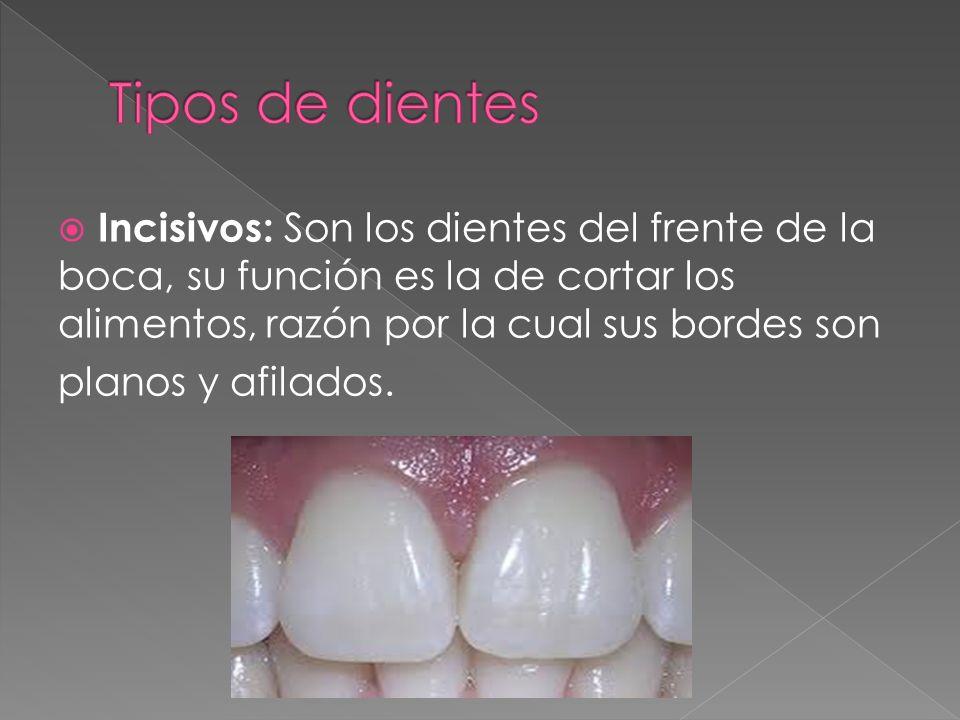 Incisivos: Son los dientes del frente de la boca, su función es la de cortar los alimentos, razón por la cual sus bordes son planos y afilados.